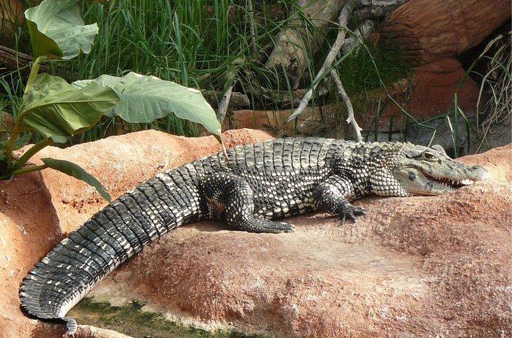 granja de cocodrils