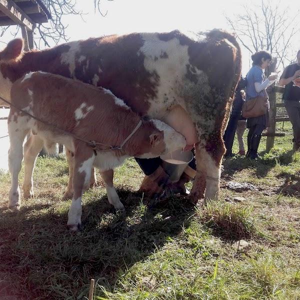 granja de vaques